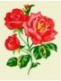 Kytice-růže